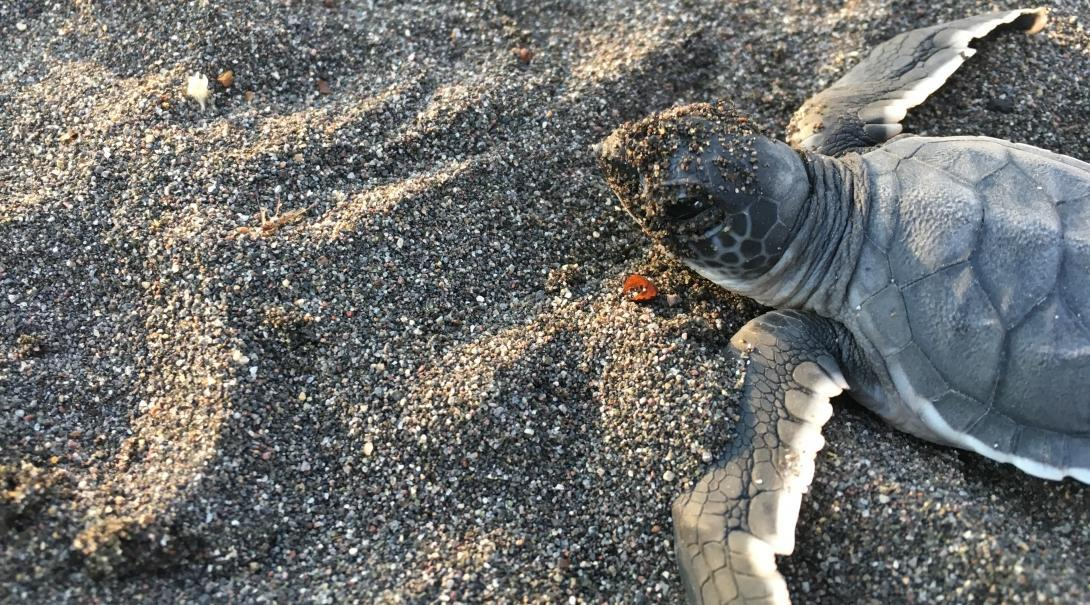 A sea turtle hatchling released during conservation volunteering in Mexico.